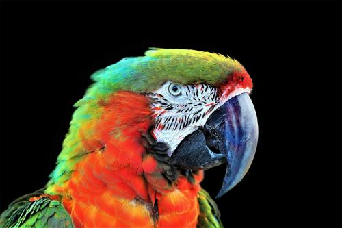 Advanced-Color-2nd-HarleytheParrot-TedBoemanns.jpg