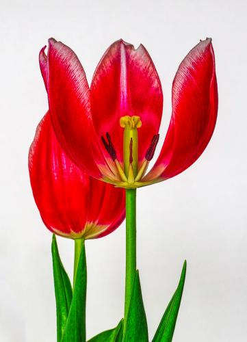 Advanced-Color-1st-Tulips-JerryFrost