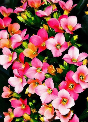 Novice-HM-Pretty in Pink-Pam Steinbruck
