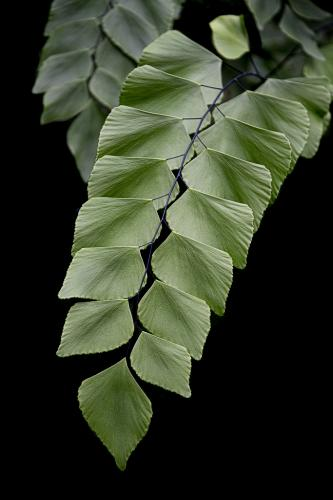 Advanced-Color-1st-Silver Dollar Fern-Janet Newton