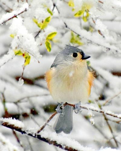 Advanced-Color-2nd-A Snowy Perch-Dawn Horrex