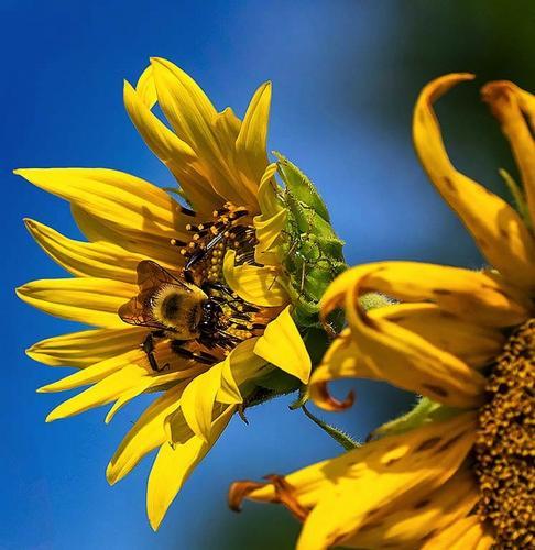 Novice-1st Place-Bee on Sunflower-Vivian Lynch-35