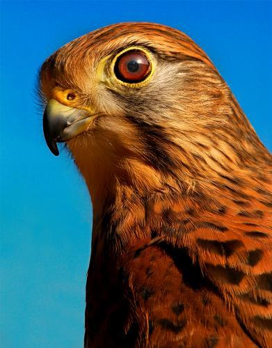 Advanced-Color-2nd-Peregrine Falcon-Greg Knobloch