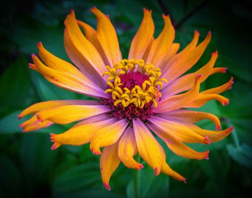 Favorite Zinnia-Marge Frost-48