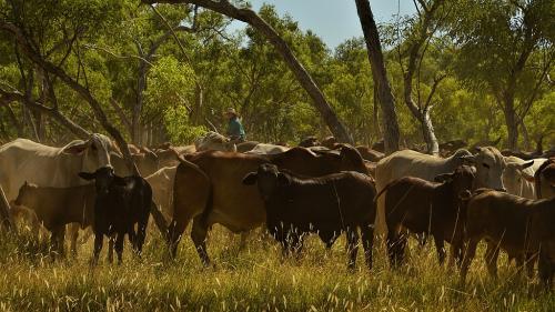 Cattle Muster Jillaroo
