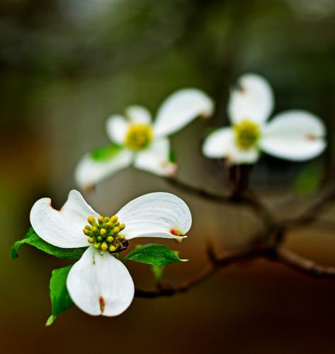 Rain Easter Dogwood Blossom