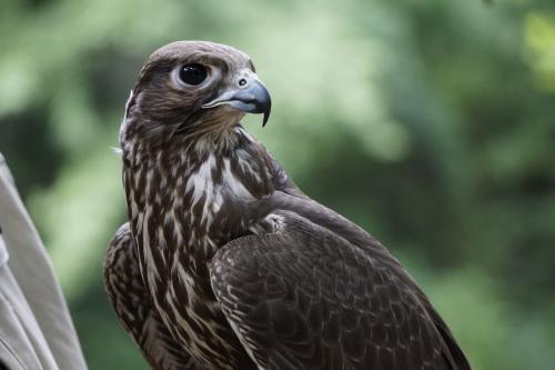 Proud falcon