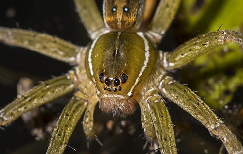 Female Spider