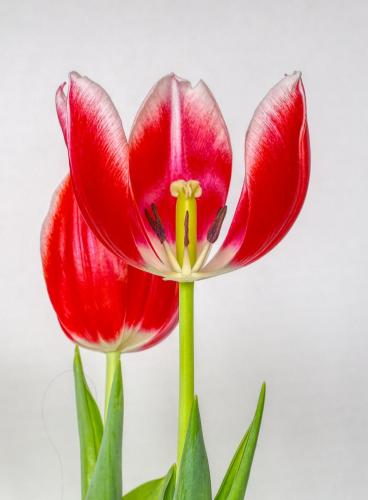 Tulip Stamen