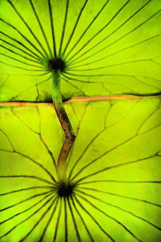 Janet Newton-Under the Lotus Leaf