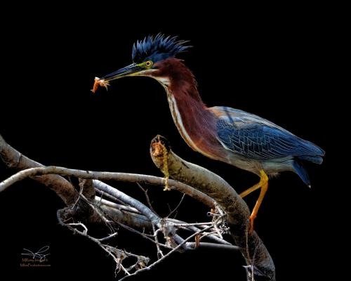 MIKE RAMY Green Heron
