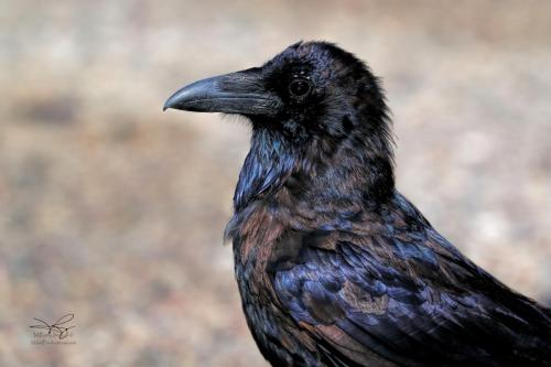MIKE RAMY Raven