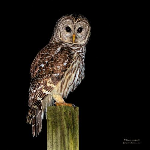 Mike Ramy Owl on a Post