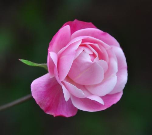 Nick Kahrs-Softest Pink