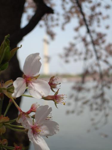 DonnaTaylor-DC Blossoms