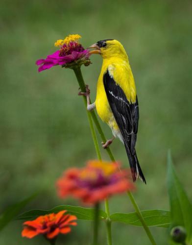 Goldfinch in the Zinnias-Diane Yancey-11