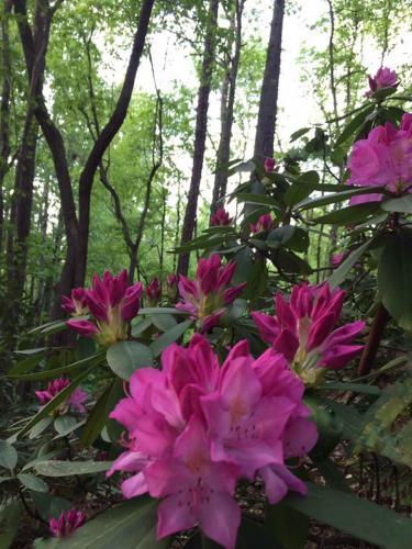 MarilynOoten-Rhododendrons