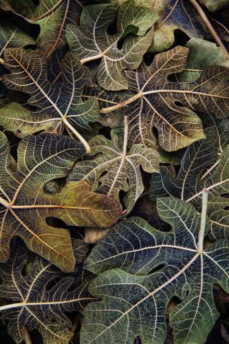 HYDRANGEA FALL LEAVES by Janet Newton
