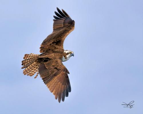 OSPREY by Mike Ramy