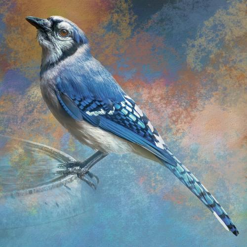 Advanced-Color-Blue Jay-34-JerryFrost