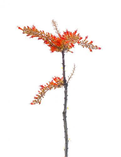 Desert Coral-Tawni Blamble