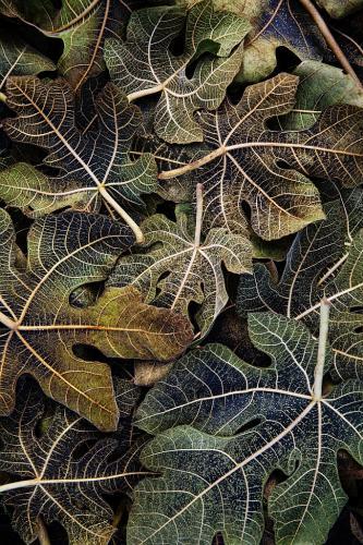 Hydrangeas in the Fall-Janet Newton